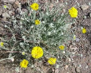 desertmarigold1